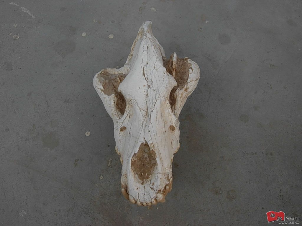和政鬣狗3.JPG